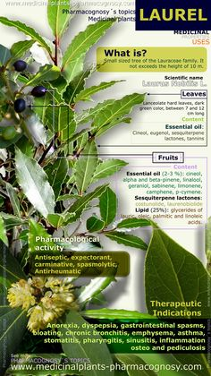 Laurel health benefits. Infographic. Summary of the general characteristics of the Laurel plant.