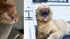 Kissan hampaat  hoida ja ennaltaehkäise ongelmat Kissa, Lamb, Animals, Animales, Animaux, Animal, Animais, Baby Sheep