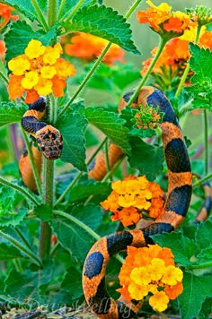 a wild northern cat-eyed snake leptodeira septentrionalis blends with texas lantana wildflowers lantana horrida Texas Snakes, Ocelot, Reptiles And Amphibians, Nature Images, Endangered Species, Wildflowers, Writing Prompts, Animal Kingdom, Habitats