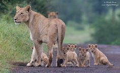 A lion cub struck out on its own while on a wander with its mother