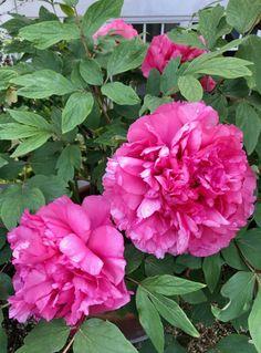 Willkommen in meinem Rosengarten - sugar&rose Cactus, Flowers, Plants, Backgrounds, English Roses, Roses Garden, Hibiscus, Lilac, Plant