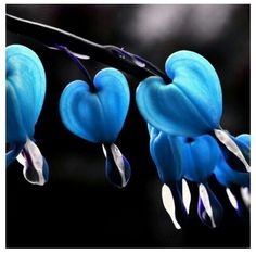 Blue Bleeding Heart Flower | Blue Bleeding Heart Flower Blue bleeding hearts