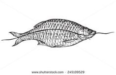 stock-vector-fish-roach-on-white-background-vector-illustration-drawing-stylized-engraving-245109529.jpg (450×293)