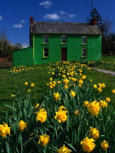 Brightly Painted Farmhouse with Yellow Daffodils Growing in the Garden ~ Photo by Richard Cummins