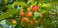 How to Care for Stayman Winesap Apple Trees | eHow.com