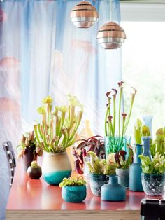 fleischfressende pflanzen zeitschriften und transporter. Black Bedroom Furniture Sets. Home Design Ideas