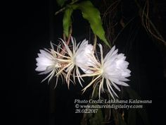 I'd love to hear your thoughts! Queen of the Night  http://natureindigitaleye.com/2017/04/01/queen-of-the-night/?utm_campaign=crowdfire&utm_content=crowdfire&utm_medium=social&utm_source=pinterest
