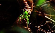 Green spider in land of Turkey!