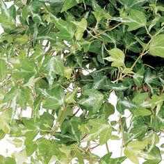 Design Ivy- One of over 400+ varieties from Exotic Angel Plants®