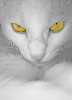 stunning yellow-eyed white cat