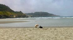 Dogs playing at the beach in Mendocino California Mendocino California, Beach, Water, Dogs, Outdoor, Gripe Water, Outdoors, Seaside, Doggies
