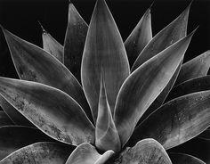 Brett Weston - Century Plant California, 1977