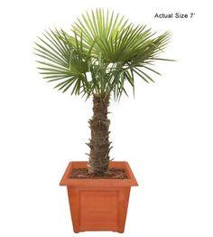 Medium Windmill Palm Tree - Trachycarpus fortunei (Web)