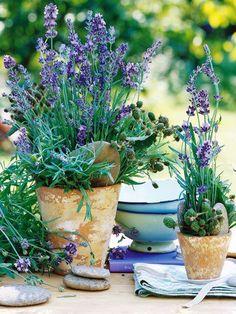 Lavender in garden pots