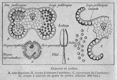 Dessins botanique : Image (36) - Etamine et pollen.jpg