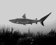 Carcharhinus perezii (Caribbean Reef Shark), Photo Credit: Wikimedia Commons/Albert kok, http://eol.org/data_objects/5904187