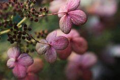 oak hydrangeas - my fav