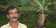 Arnulfo Urquijo, un campesino de San Francisco (Cundinamarca), es el único redentor y defensor de la palma de cera real en Colombia. Creó una fundación para darle impulso a este esfuerzo.