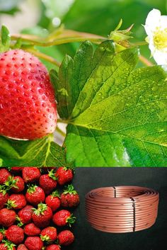 Tuberías con goteros integrados 💧 autocompensantes más flexibles y resistente 💧 👇 👇 👇 [+Info ➡ 955 99 81 81/ info@aquatubo.com] Strawberry, Fruit, Food, Water Treatment, Irrigation, Meal, Essen, Strawberry Fruit, Strawberries