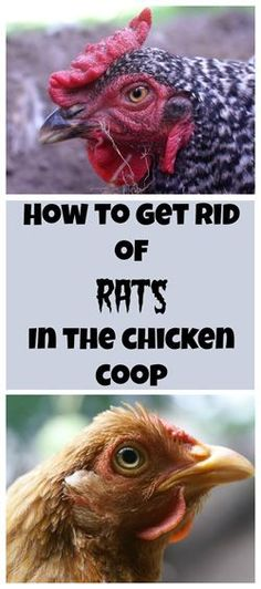 If rats have chewed holes into your coop or underneath it, fill the holes with steel wool and cover them with hardware cloth.