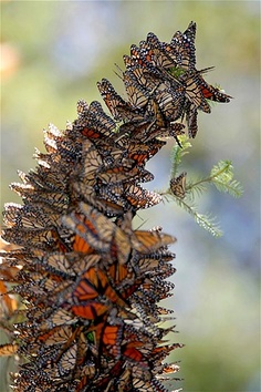 Image: Monarch butterflies line a branch of a bush in the Pedro Herrada butterfly sanctuary in Michoacan (© STRINGER/MEXICO//Reuters)