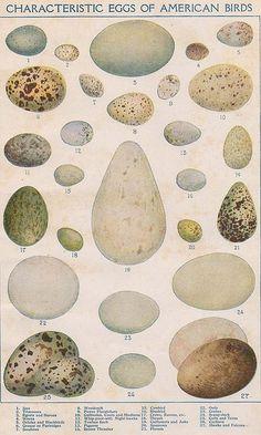 1912 Characteristic Eggs of American Birds