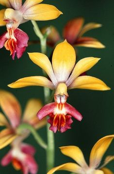 Angel Orchid (Habenaria Grandifloriformis) - Google Search