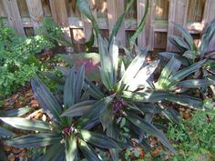 Oyster Plant (Tradescantia Spathacea) Moses-in-the-cradle One Quality Plant