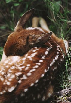 curled up fawn