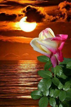 Napkelte rózsája.