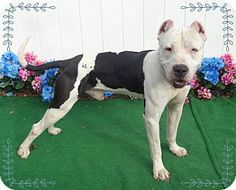 Marietta, GA - Pit Bull Terrier/American Pit Bull Terrier Mix. Meet ZEUS, a dog for adoption. http://www.adoptapet.com/pet/17390329-marietta-georgia-pit-bull-terrier-mix