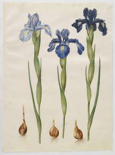 Botanical Print Poster Of Blue Iris