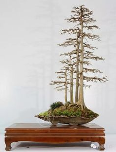50 Best Bonsai Indoor Trees Ideas For Indoor Decorations - Bonsai Klasik