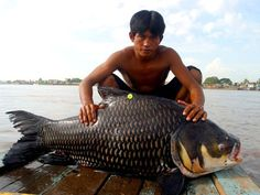 Giant Thai carp or black carp are also a species of giant fish in the    Mekong River