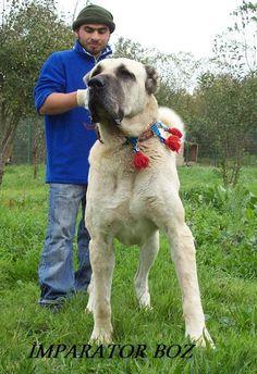 Turkish Boz - my new Livestock Guardian Dog obsession