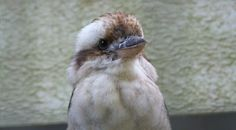 kookabura-martin-chasseur
