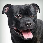 Staffordshire Bull Terrier : Dog Breed Selector : Animal Planet