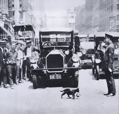 A cat carrying her kitten across the street stopping NYC traffic, July 29, 1925