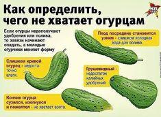 Сажаю огурцы по методу белорусской тётушки. Урожай шикарный!
