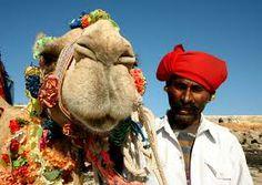 camels .