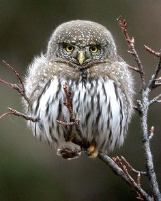 Northern Pygmy-Owl -- about the size of a dollar bill! ...oh I wish I could have one!!