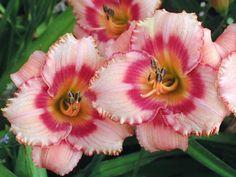Among the most popular reblooming Daylilies, multiple award-winner Hemerocallis 'Strawberry Candy' ranks very high!