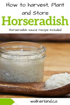 Tutorial on how to harvest, plant horseradish along with some useful facts and recipes. How To Make Horseradish, Growing Horseradish, Homemade Horseradish, Horseradish Recipes, Fresh Horseradish, Horseradish Sauce, Canning Tips, Canning Recipes, Fermentation Recipes