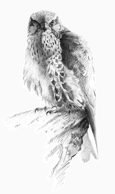 Saker Falcon - pencil drawing - Gary Henderson