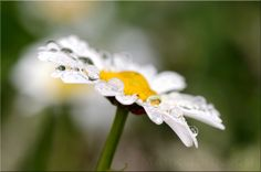 Rainy Days by Mark Johnson via 500px | Flowers | Rain