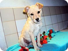 San Diego, CA - Border Terrier/Terrier (Unknown Type, Small) Mix. Meet Nikki a Puppy for Adoption.