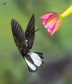 White-collared Inca Hummingbird