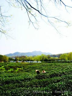 杭州の茶畑 / tea plantation in Hangzhou, China