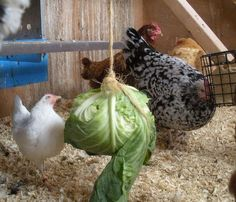 winter hen entertainment, chickens, hens, coop, animal enrichment. (I'm still nervous about chickens in winter...)