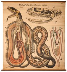 Snake Anatomy, Paul Pfurtscheller, Zoological Wall Table